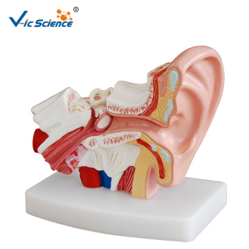 Desktop Ear Teaching Model