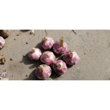 Purple garlic TAIKONG garlic