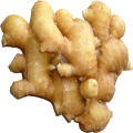 All Year Round Supply High Quality Ginger
