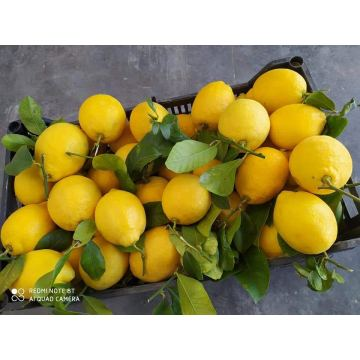 Picked Best Quality Lemon