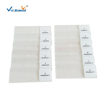 Beans Anther Meiosis Microscope Slides