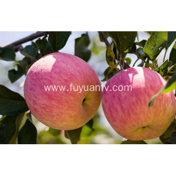 Export The Top Quality Fresh Fuji apple (64-198)