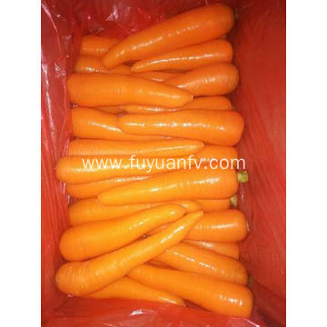 Anqiu Carrot with orange color