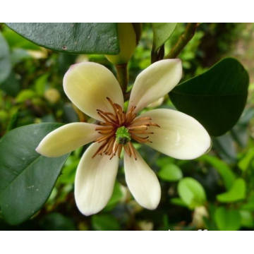 Michelia Flower Essential Oil 50ml