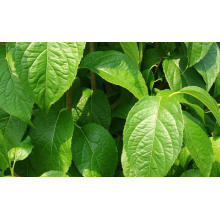 Top quality Chinese herb Eucommiae Cortex