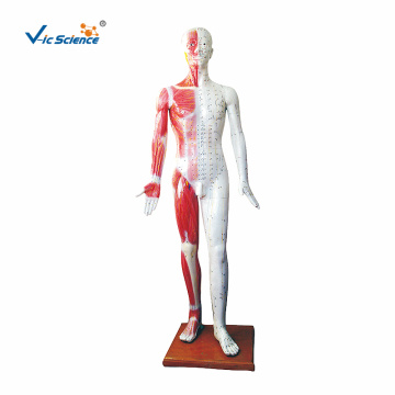 178CM Deluxe Acupuncture Model