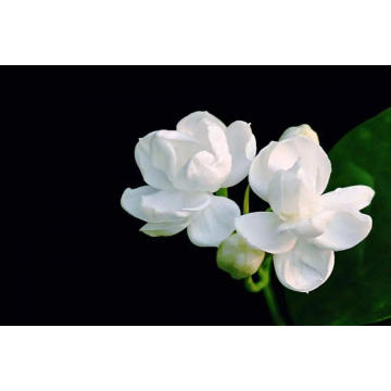 Jasmine Absolute Essential Oil 50ml