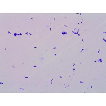 500billion CFU/g Lactococcus Lactis