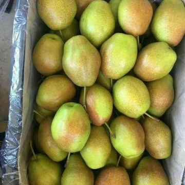fresh su pears new crop