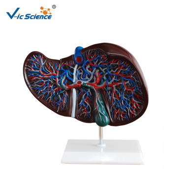 Environment Friendly PVC Anatomy Liver Model