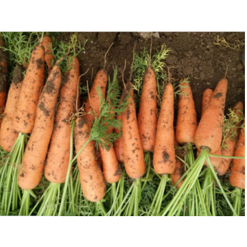 New Crop Water Washed Fresh Carrot