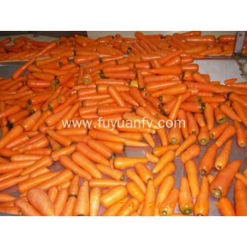 Nutritious good quality carrot