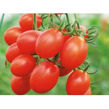 Yummy Red Cherry Tomato