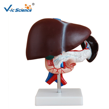 Human Anatomy Liver Model Medica Science Model