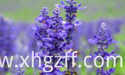 Clary Sage Essential Oil How To Use