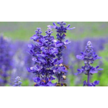 Clary Sage Essential Oil 30ml