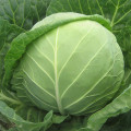 Round dark green F1 hybrid cabbage seeds