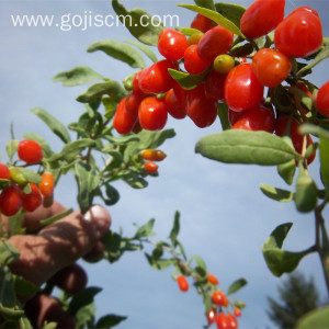 Organic origin Chinese Goji Tea