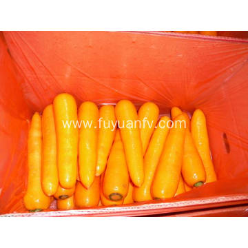 Fresh Shandong carrot starting