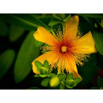 100% Pure Natural St. John's Wort Extract