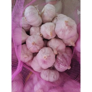 Normal white garlic fresh