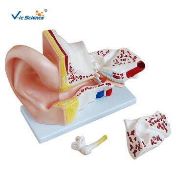 Human Anatomic Model Giant Ear Model