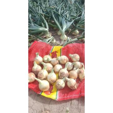 New Crop 2020 Yellow Onion
