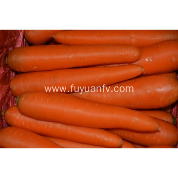 Best Quality of Shandong Carrot