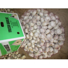 Hybrid Normal White Garlic
