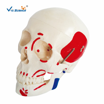 Life-Size Skull With Painted Muscles Model