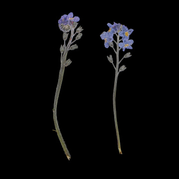 10x Pressed Flowers Forget-me-not Organic Dried Flower DIY Floral Art Crafts