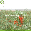 Factory Supply Healthy Super Food Anti Tumor Goji