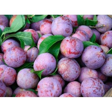 2020 Fresh New Crop Sweet Plum