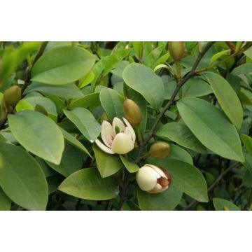 Michelia Leaf Essential Oil 50ml