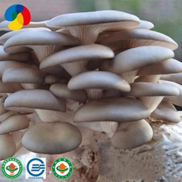 Farm organic fruitwood grey oyster mushroom spawn