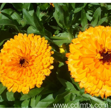 Beautiful flower seeds calendula officinalis seeds
