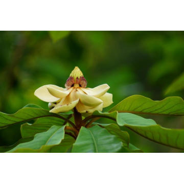 Michelia Leaf Essential Oil 30ml