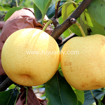 2019 fresh crown pear