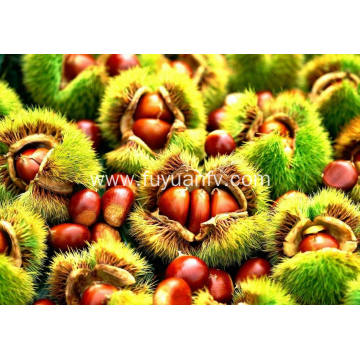 Economic crop fresh chestnut