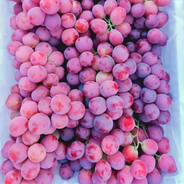 good quality 2020 crop  fresh grape