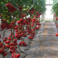 F1 hybrid Chinese high yield red tomato seed