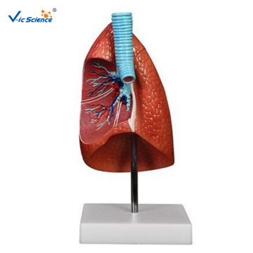 1 Part Medical Science Teaching Lung Model