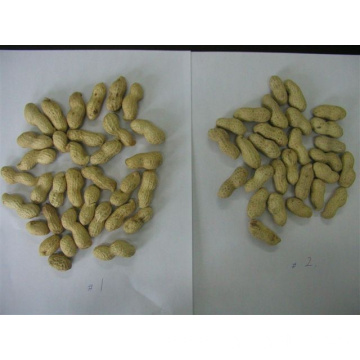 peanut in shells Shandong origin