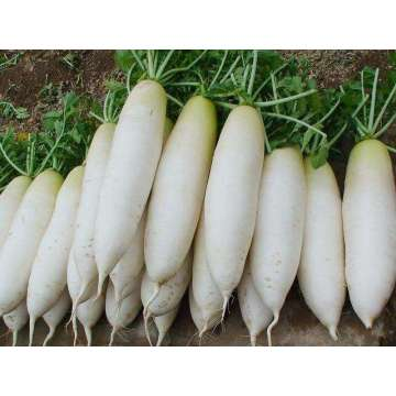 2020 New Crop Fresh Radish