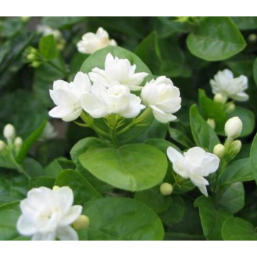 Fresh jasmine essential oil that can invigorate blood