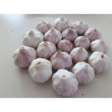 Fresh White Garlic Purple Garlic for sale export