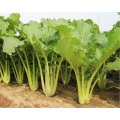 F1 hybrid pakchoi seeds chinese cabbage seeds