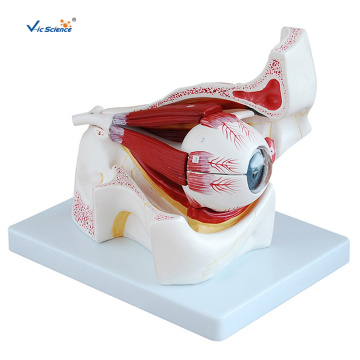 Model Of The Human Anatomy Eye