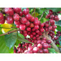 Famouse Green Arabica Coffee
