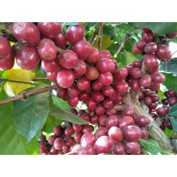 Green Coffee Bean Extract Product